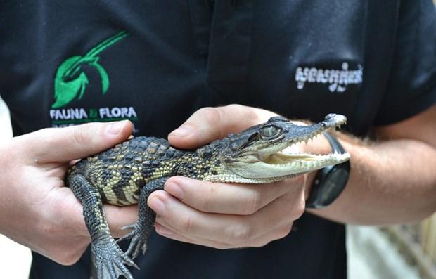 Descubren en Camboya crias de cocodrilo siames casi extinto hinh anh 1