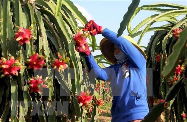 Exportan fruta del dragon de pulpa roja de Vietnam a Australia hinh anh 1