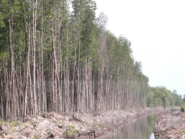 Bosques en provincia vietnamita de Ca Mau enfrentan alto riesgo de incendio hinh anh 1