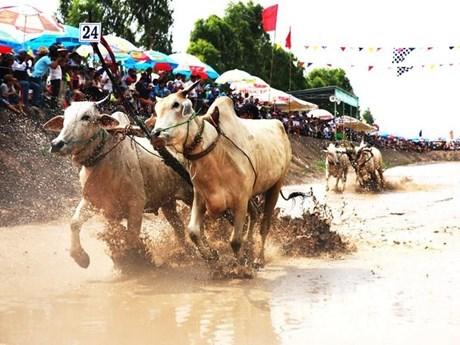 Carrera tradicional de bueyes en Vietnam aspira a convertirse en evento internacional hinh anh 1