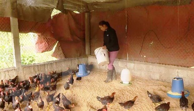 Insta Gobierno vietnamita a reforzar la prevencion contra enfermedades del ganado hinh anh 1