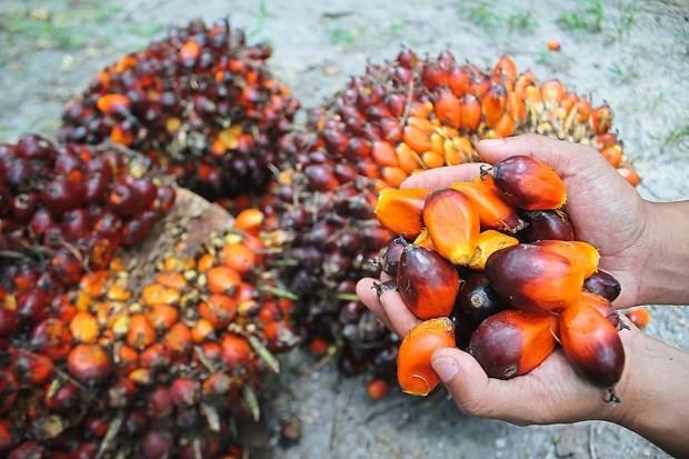 Malasia desea resolver disputa sobre aceite de palma con India hinh anh 1