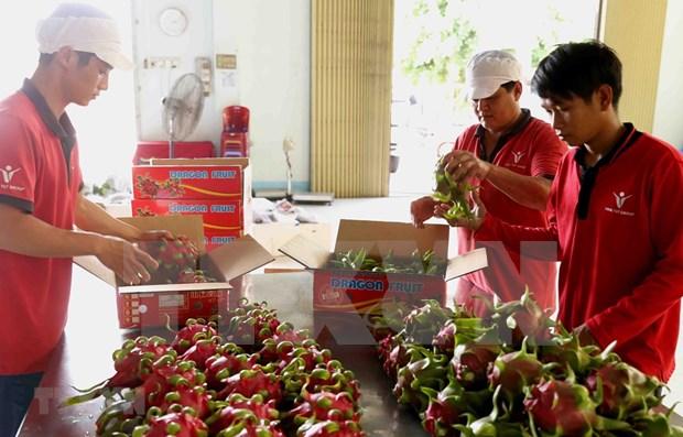 Dedican semana a pitahaya de pulpa roja vietnamita en Australia hinh anh 1
