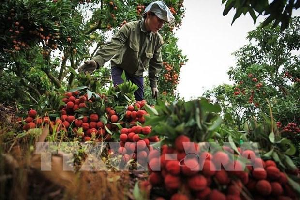 Exportara Vietnam primer lote de lichi fresco a Japon hinh anh 1
