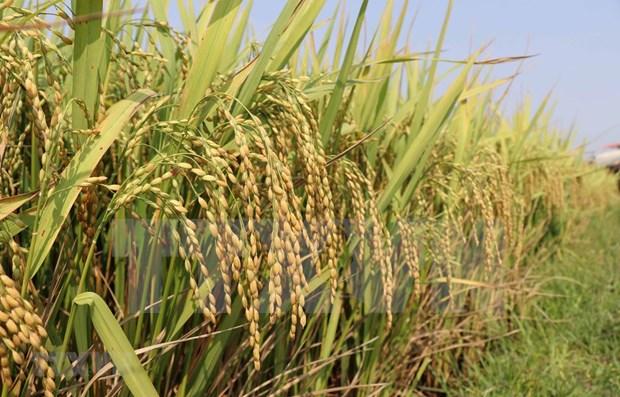 Premier vietnamita da el visto bueno para reanudar exportacion de arroz hinh anh 1