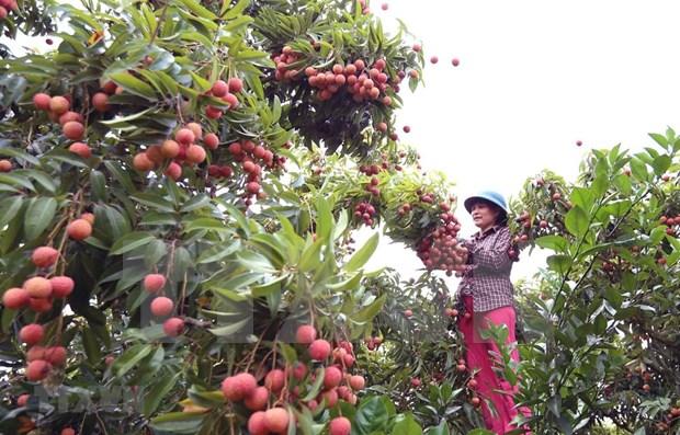 Vietnam por impulsar exportaciones de lichi a Japon hinh anh 1