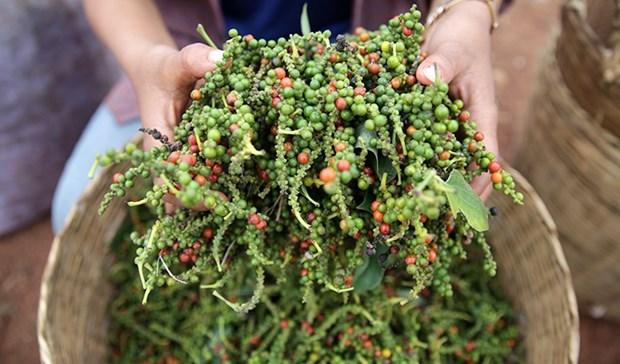 Disminuyen exportaciones de pimienta Kampot de Camboya debido a COVID-19 hinh anh 1