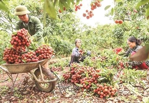Provincia vietnamita de Bac Giang planea estimular consumo interno de lichi hinh anh 1