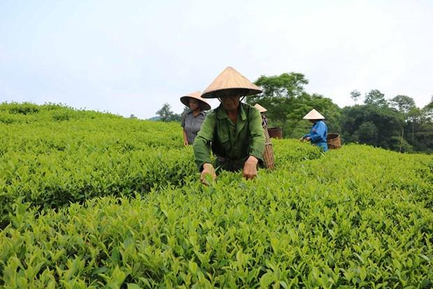 Phu Tho se situa en cuarto lugar de Vietnam en area de siembra de te hinh anh 1