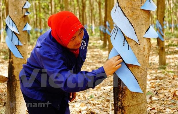 Crecen exportaciones de caucho natural de Camboya pese a crisis del COVID-19 hinh anh 1