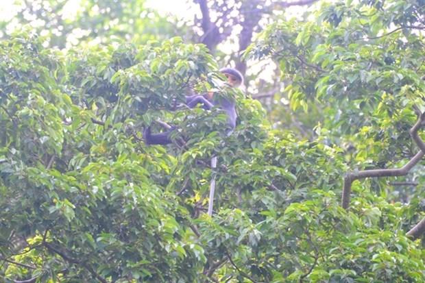 Descubren en provincia vietnamita primates de especie endemica amenazada hinh anh 1