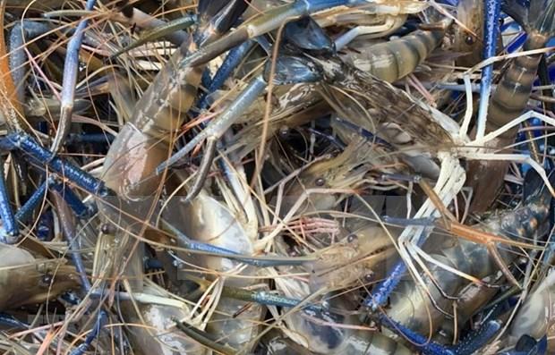 Instan en Vietnam a prevenir nuevo virus que afecta cria de camarones hinh anh 1