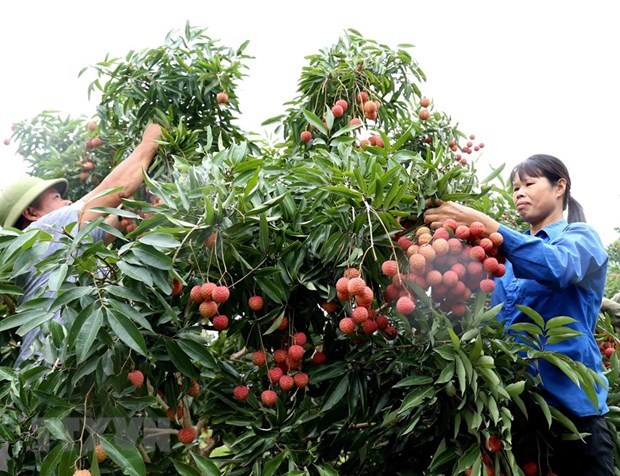 Llegaran expertos japoneses a Vietnam para revisar lotes exportables de lichi hinh anh 1