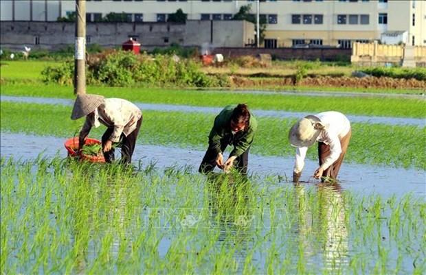 Exportaciones de arroz de Tailandia se encuentran en situacion dificil hinh anh 1