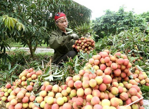 Expertos japoneses llegan a Vietnam para verificar exportacion de lichi hinh anh 1