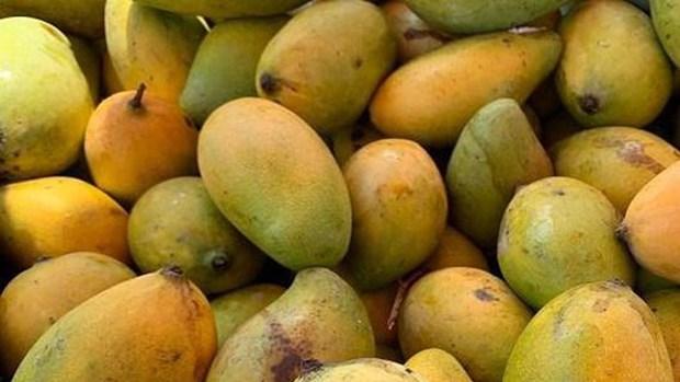 Camboya exportara 500 mil toneladas de mango a China hinh anh 1