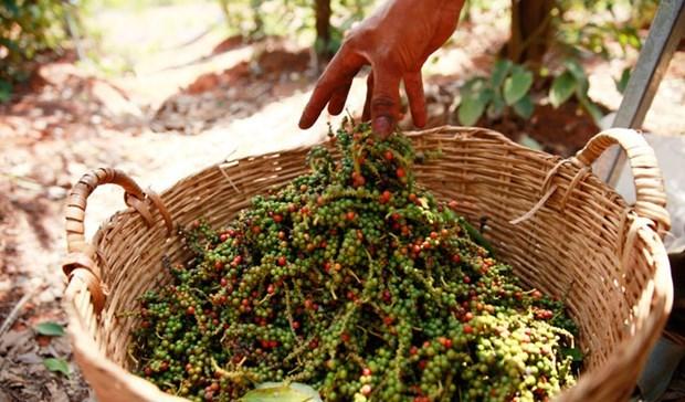 Precio de pimienta camboyana aumenta debido a fuerte demanda de Vietnam hinh anh 1