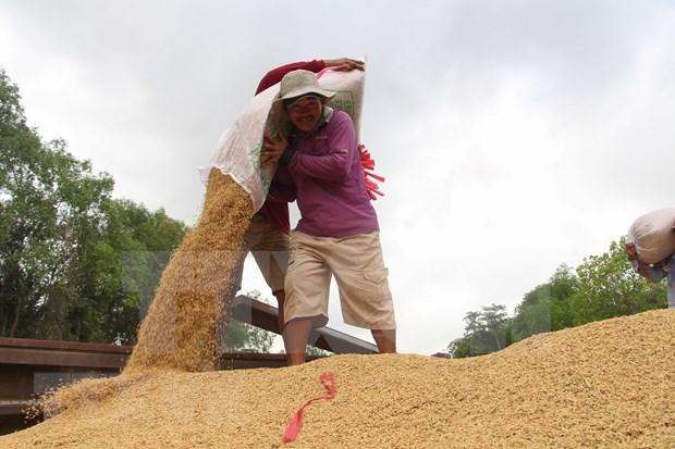 Exportaciones de arroz de Camboya por alcanzar 800 mil toneladas en 2020 hinh anh 1