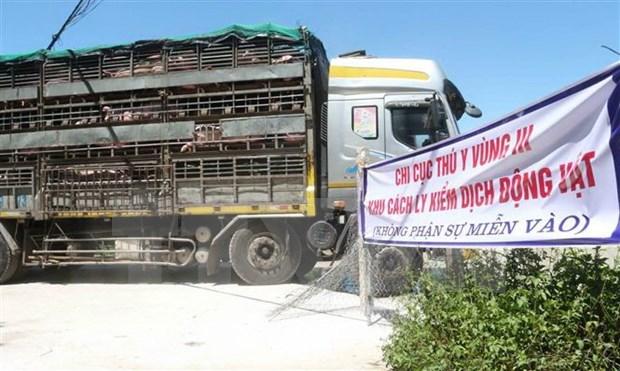 Vietnam pone en cuarentena cerdos importados de Tailandia hinh anh 1
