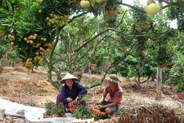 """""""Rey de lichi vietnamita"""" busca conquistar mercados exigentes hinh anh 2"""