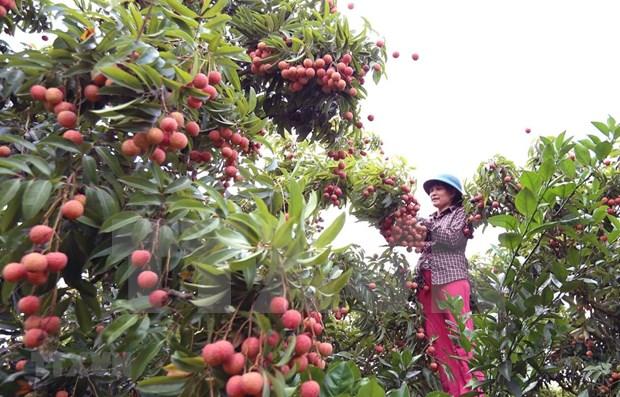 Llega a Japon el primer lote de lichi fresco de Vietnam hinh anh 1