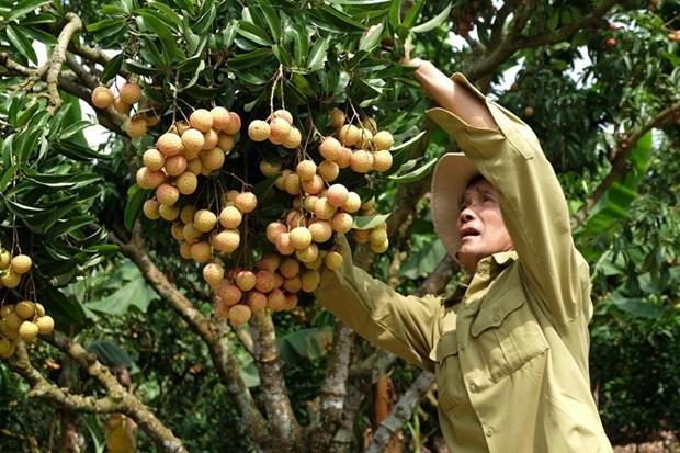 Temporada de cosecha del lichi de Luc Ngan en provincia vietnamita de Bac Giang hinh anh 1