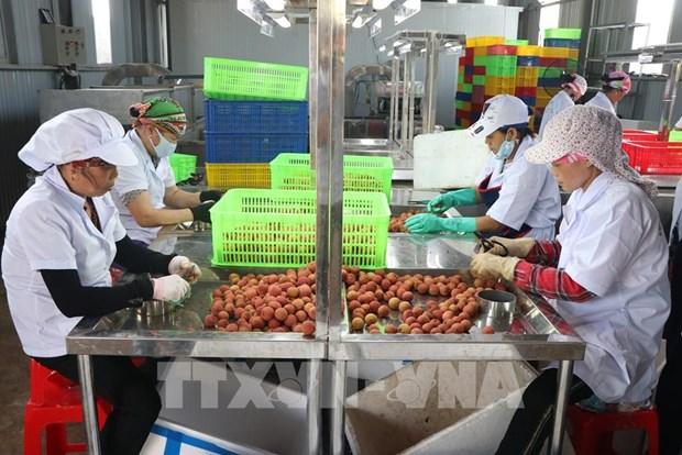 Provincia de Hai Duong exporta lichi a Japon por primera vez hinh anh 1