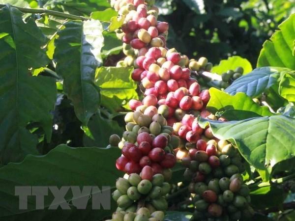 Exportaciones de cafe de Vietnam superan mil millones de dolares hinh anh 1