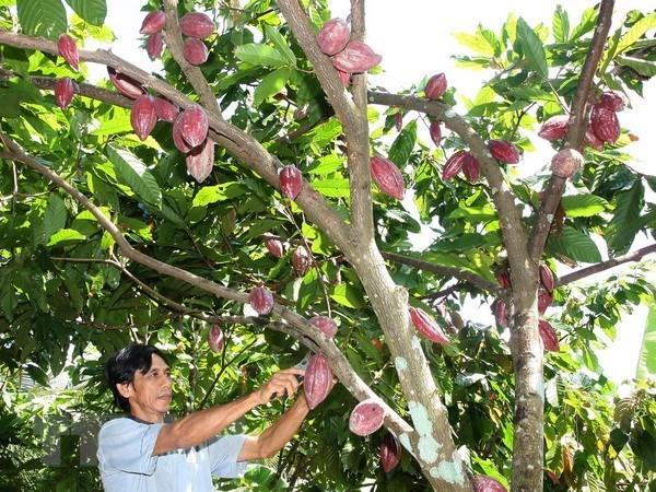 Aprecian grano de cacao de Vietnam por su sabor unico hinh anh 1