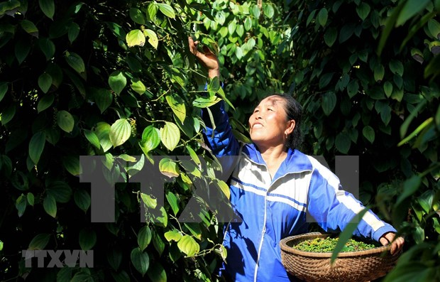 Decenas de contenedores de pimienta vietnamita atascados en Nepal hinh anh 1