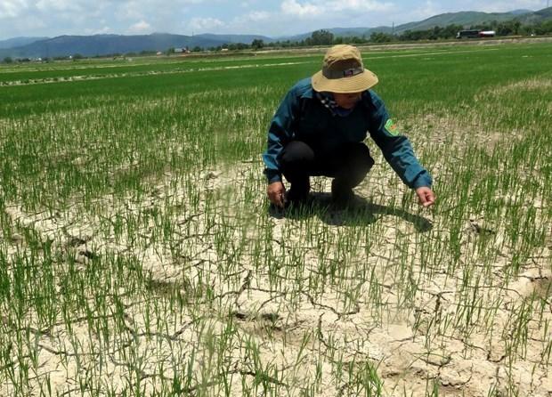 Enfrentan sequia miles de hectareas de cultivos en region central de Vietnam hinh anh 1