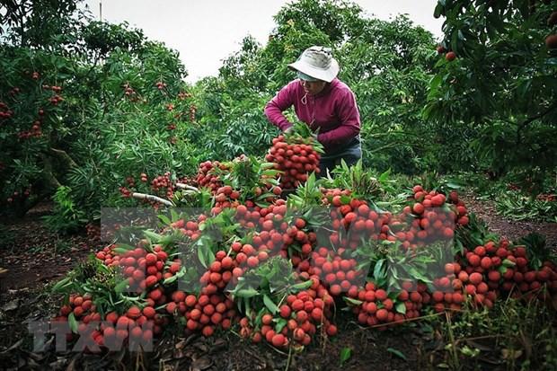 Provincia vietnamita de Bac Giang ingresa 300 millones de dolares por las ventas de lichi hinh anh 1