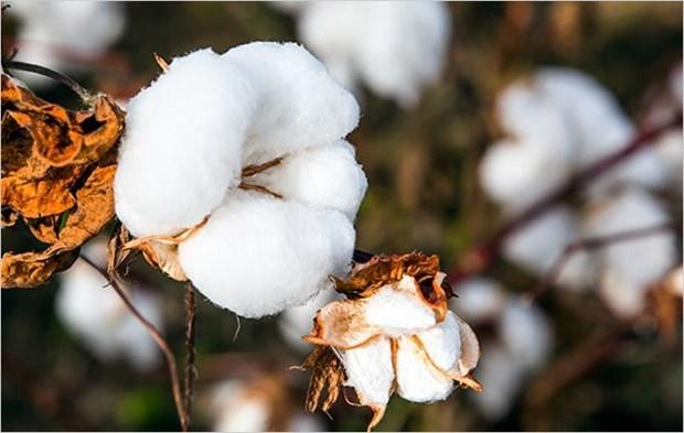 Empresa india busca exportar algodon a Vietnam hinh anh 1