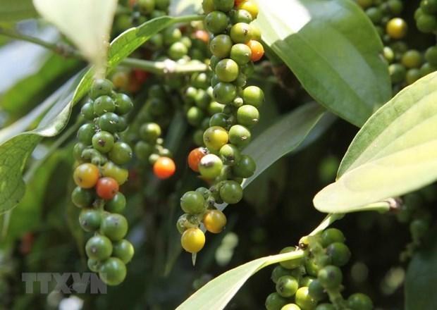Disminuyen exportaciones vietnamitas de pimienta en primer semestre de 2020 hinh anh 1