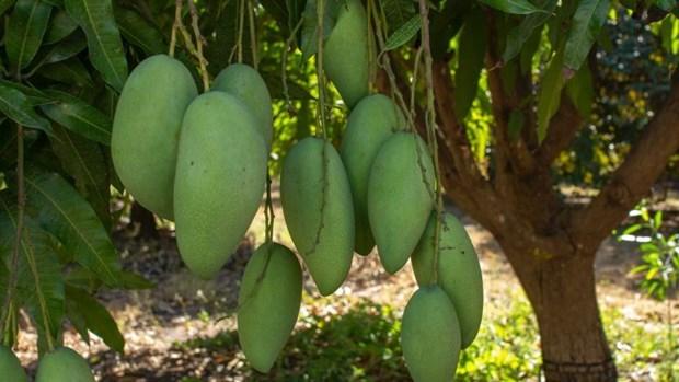 Mangos vietnamitas acaparan atencion del mercado australiano hinh anh 1