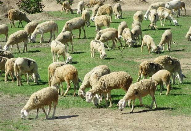 Provincia vietnamita de Ninh Thuan desarrolla produccion ovina hinh anh 1