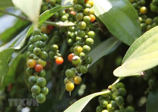 Exportaciones vietnamitas de pimienta a la India enfrentan desafios hinh anh 1