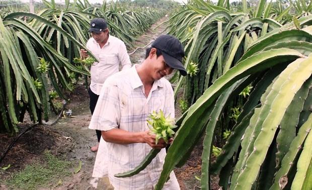 Provincia vietnamita de Long An por ampliar area de cultivo de pitahayas hinh anh 1
