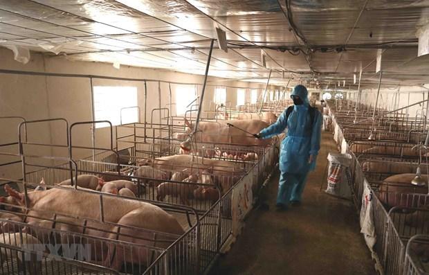 Vietnam se empena en impedir propagacion de fiebre porcina africana hinh anh 1