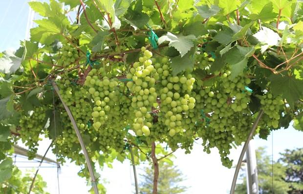 Provincia vietnamita de Ninh Thuan fortalece produccion de uva hinh anh 1