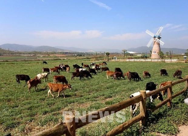 Vinamilk proyecta expandir las granjas de vacas lecheras hinh anh 1