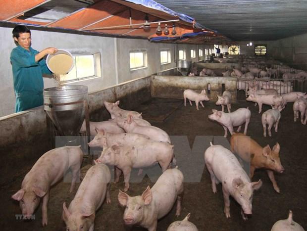 Reportan brotes de la peste porcina africana en provincia vietnamita de Ca Mau hinh anh 1