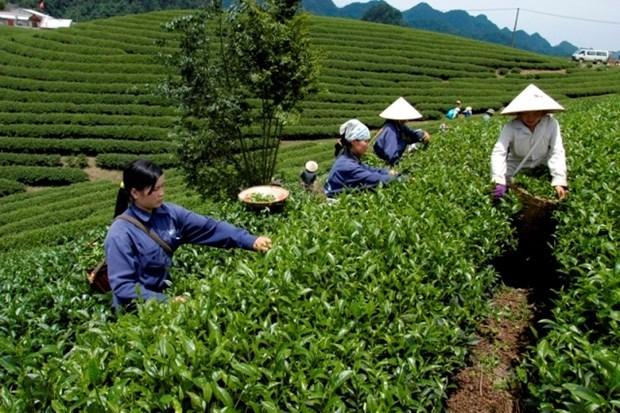 Provincia vietnamita de Phu Tho aspira a convertir te en alimento agricola clave hinh anh 1