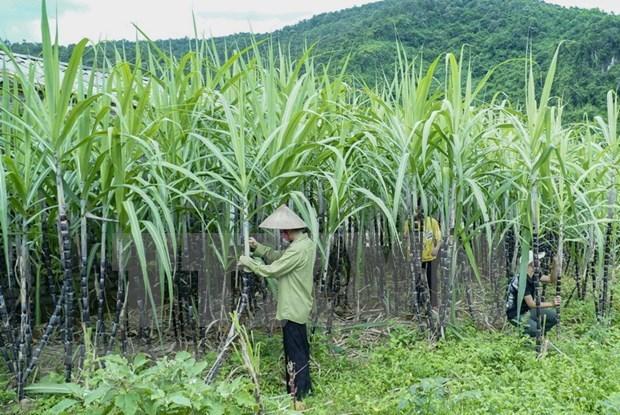 Vietnam inicia investigacion antidumping al azucar de cana de Tailandia hinh anh 1