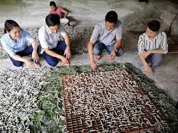 El cultivo de moreras para criar gusanos de seda ayuda a estabilizar economia en areas remotas hinh anh 1