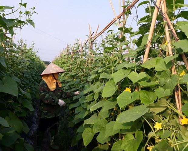 Sector agricola aporta significativamente al crecimiento de la provincia de Vinh Phuc hinh anh 1