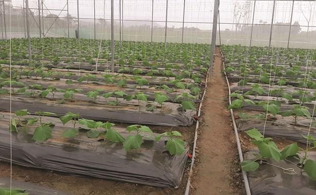 Provincia vietnamita de Vinh Phuc promueve agricultura con altas tecnologias hinh anh 1