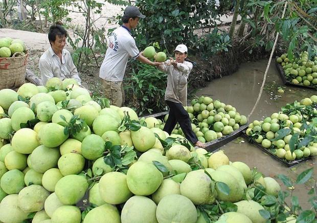 Chile autoriza importacion de pomelos vietnamitas hinh anh 1