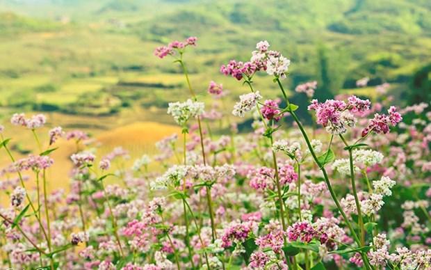 Promueven la belleza y cultura de Ha Giang en Festival de Flores de Alforfon hinh anh 1