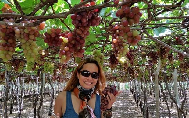 Grandes avances de provincia de Ninh Thuan en el turismo agricola hinh anh 1